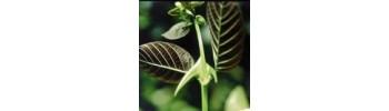 Uncaria tormentosa - Vilcacora - Una de Gato - Cat´s claw